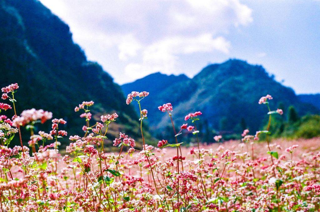 Hà Giang mùa hoa tam giác mạch mê hoặc bao du khách